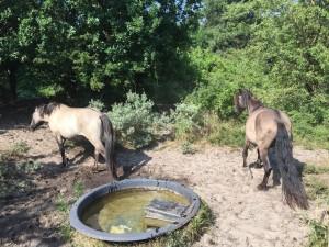 konikspaarden-zandvoort-1